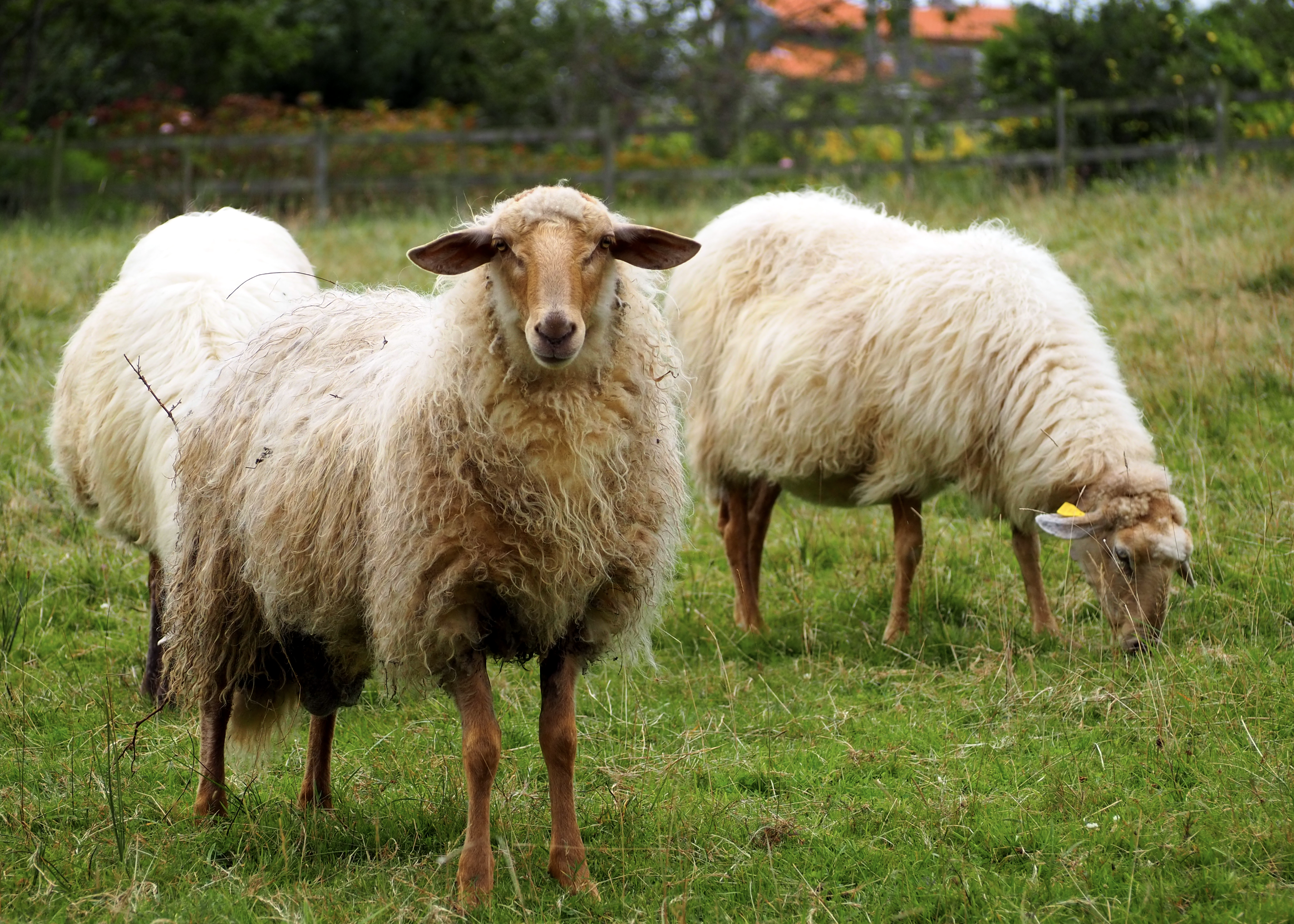 La tuberculosis bovina desciende un 28% en Asturias